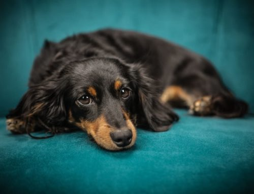 5 Ways to Make Your House Dachshund-Friendly